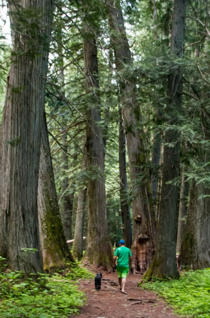 Settlers Grove of Ancient Cedars in the Idaho National- Forest by Betsey Crawford