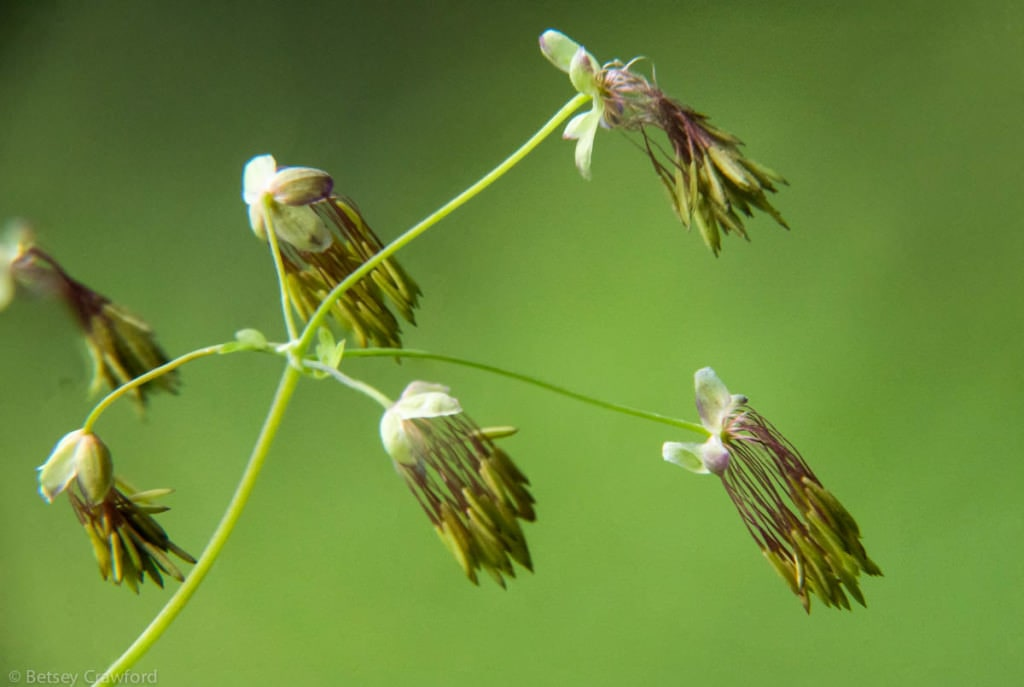 Meadow rue (Thalictrum occidental) at Settlers Grove of Ancient Cedars near Murray, Idaho by Betsey Crawford