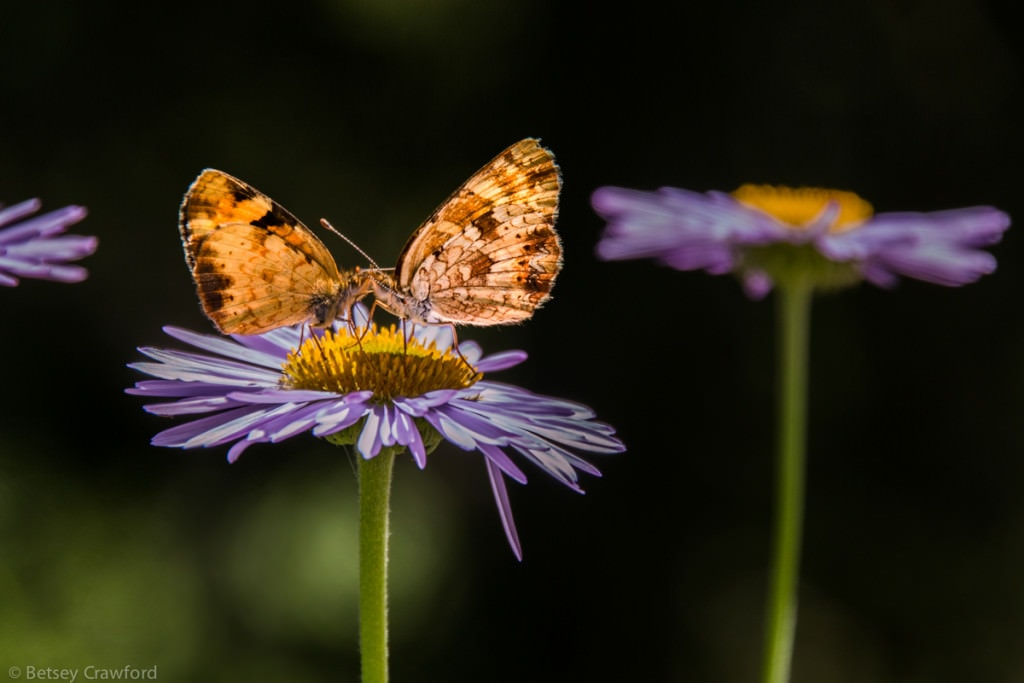 Tall purple fleabane (Erigeron peregrinus) hosting butterflies