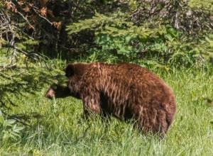 Munching bear wandering by