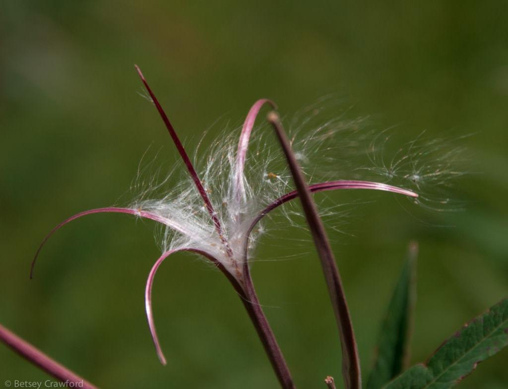 fireweed-epilobium-angustifolium-seeds-Alaska-by-Betsey-Crawford