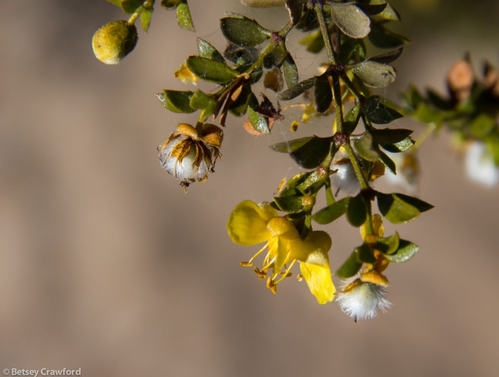creosote-bush-larrea-tridentata-Anza-Borrego-Desert-California-by-Betsey-Crawford