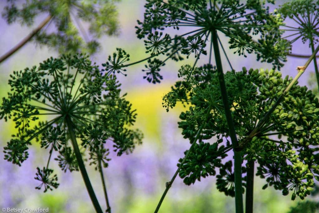 giant-allium-seedheads-allium-giganteum-New-York-Botanical-Garden-Bronx-New-York-by-Betsey-Crawford