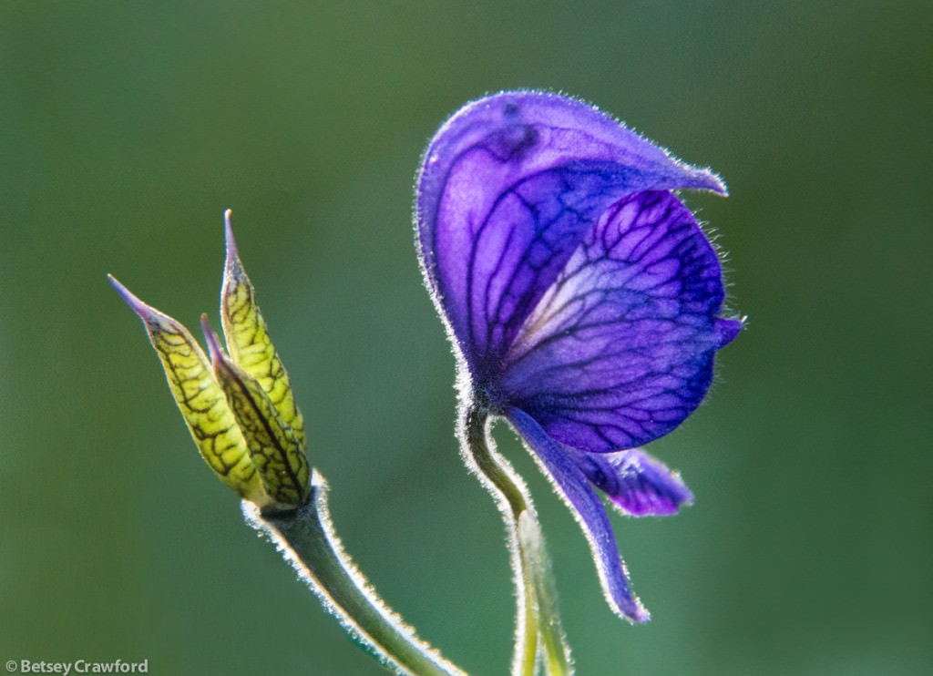 monkshood-with-seedhead-aconitum-delphinifolium-Wynn-Nature-Center-Homer-Alaska-by-Betsey-Crawford