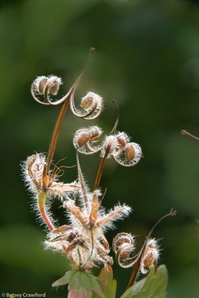 wild-geranium-seedhead-geranium-erianthum-Hatchers-Pass-Alaska-by-Betsey-Crawford.jpg