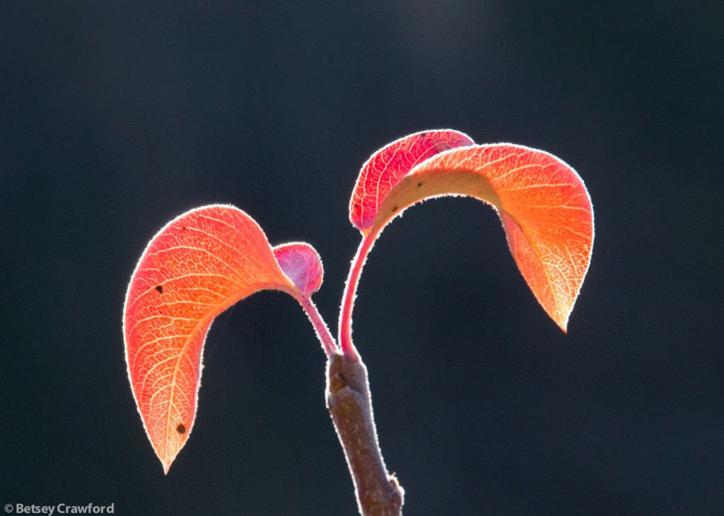 autumn-peach-leaves-Genesis-farm-Blairstown-New-Jersey-by-Betsey-Crawford