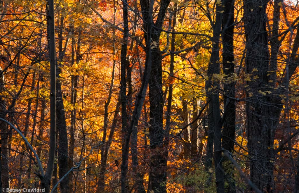 autumn-woods-Genesis-farm-Blairstown-New-Jersey-by-Betsey-Crawford-2