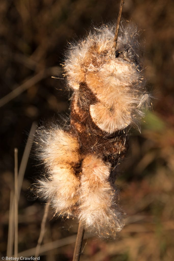 cattail-typha-angustifolia-seedhead-Genesis-farm-Blairstown-New-Jersey-by-Betsey-Crawford