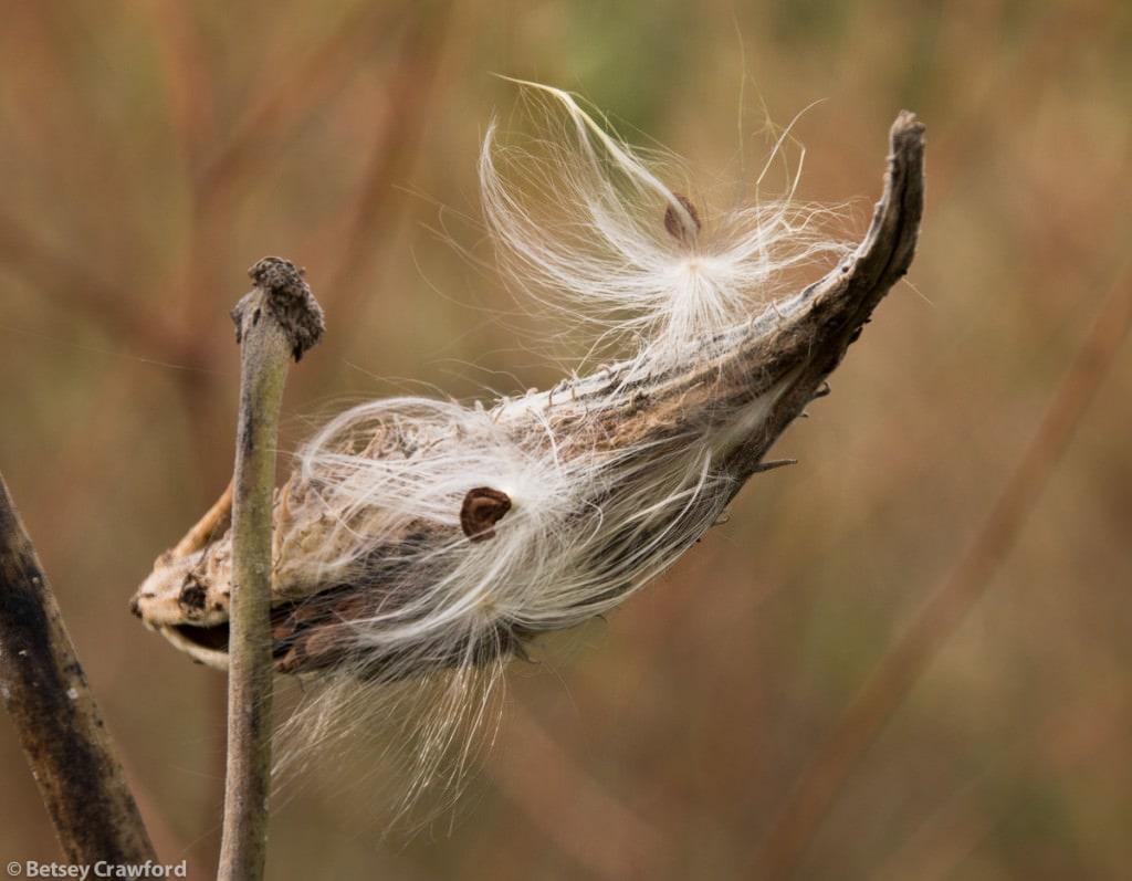 common-milkweed-seedhead-asclepias-syriaca-Genesis-farm-Blairstown-New-Jersey-by-Betsey-Crawford