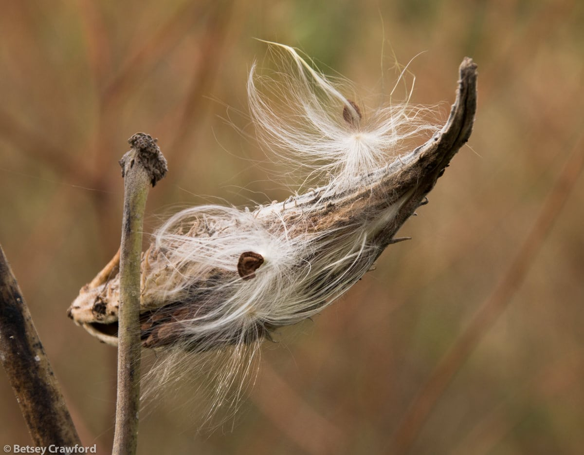 Creating habitat with native plant gardening:: common-milkweed-seedhead-asclepias-syriaca-Genesis-farm-Blairstown-New-Jersey-by-Betsey-Crawford