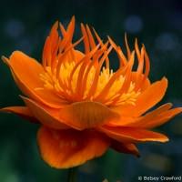 Globe flower (Trollius species) Manito Park, Spokane, Washington by Betsey Crawford