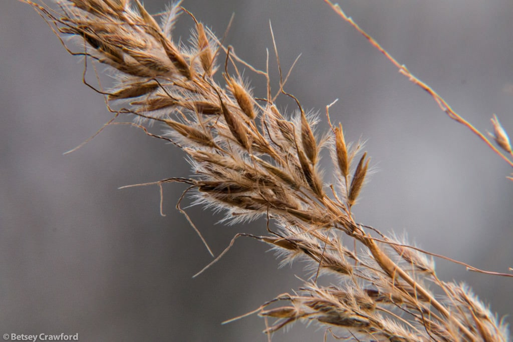 grass-autumn-seedheads-Genesis-farm-Blairstown-New-Jersey-by-Betsey-Crawford