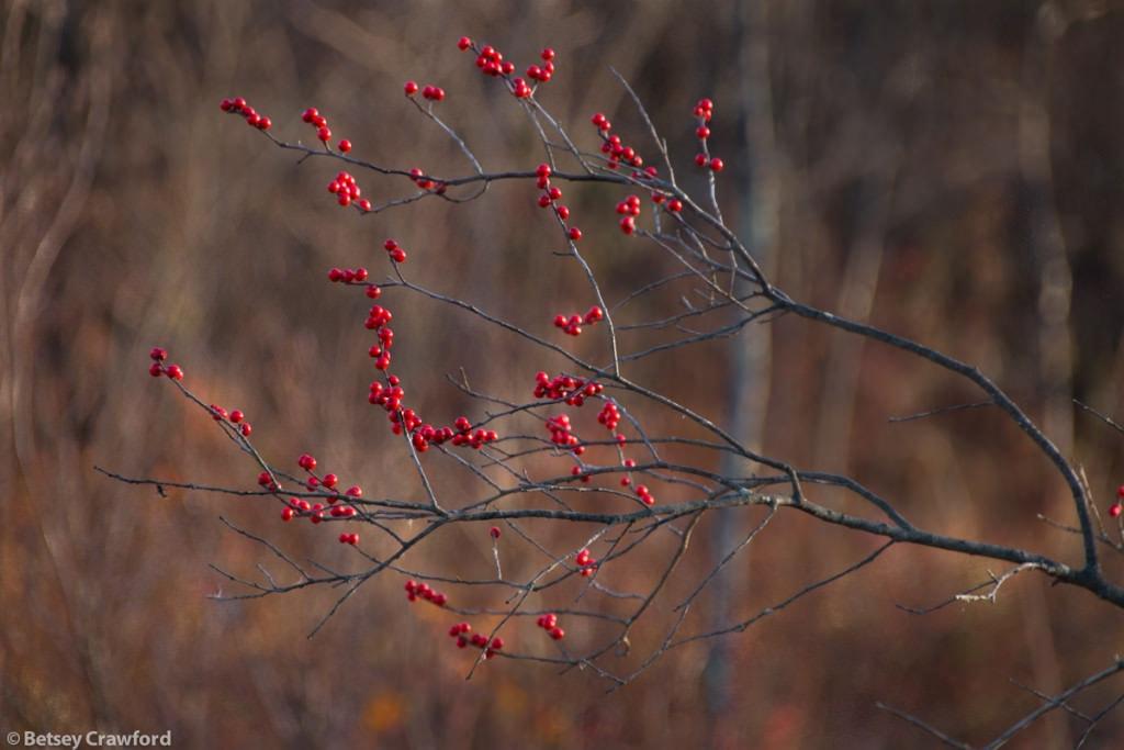 winterberry-ilex-verticillata-Genesis-farm-Blairstown-New-Jersey-by-Betsey-Crawford