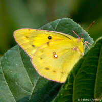 Yellow butterfly at Kaplan's Pond, Croton-on-Hudson, New York by Betsey Crawford