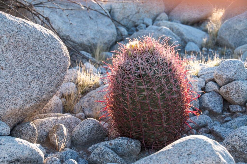 Barrel-cactus-ferocactus-cylindraceus-Anza-Borrego-Desert-California-by-Betsey-Crawford