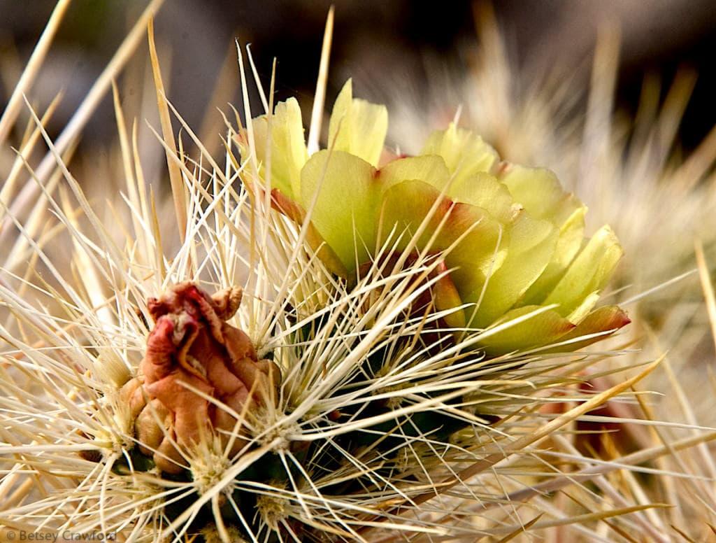 Ganders-cholla-cylindropuntia-ganderii-Anza-Borrego-Desert-California-by-Betsey-Crawford