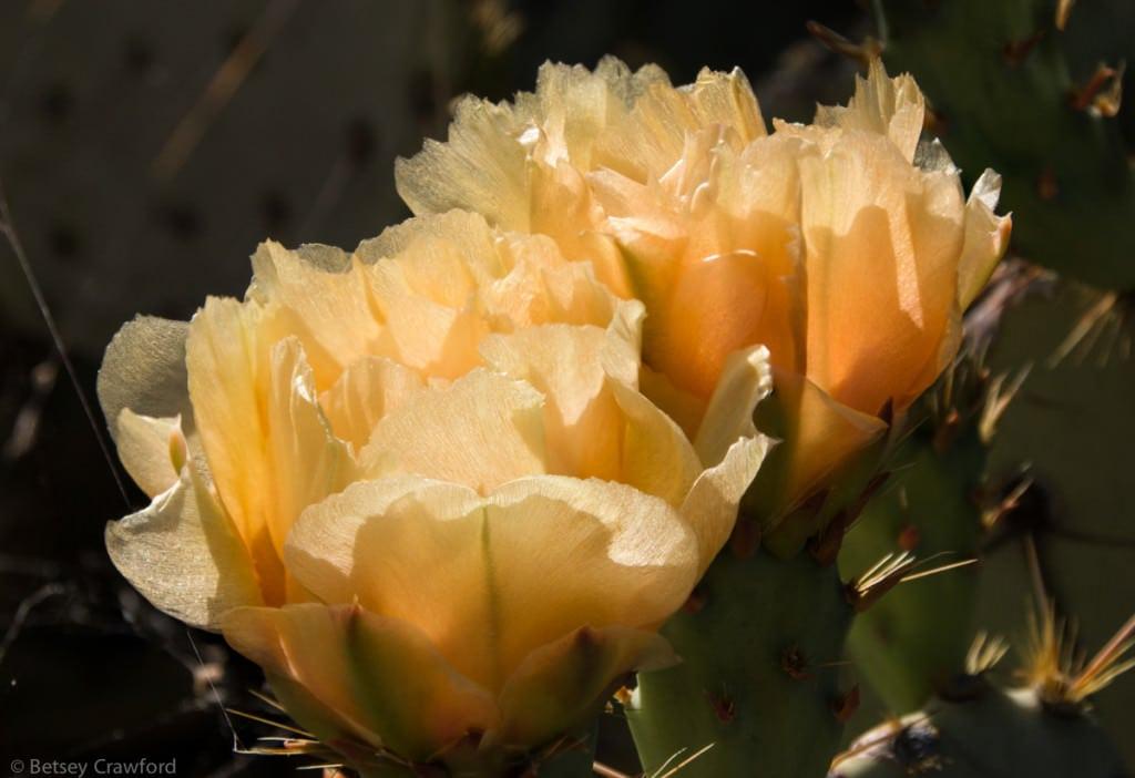 Prickly-pear-cactus-Opuntia-engelmanii-Saguaro-National-Park-Arizona-by-Betsey-Crawford copy