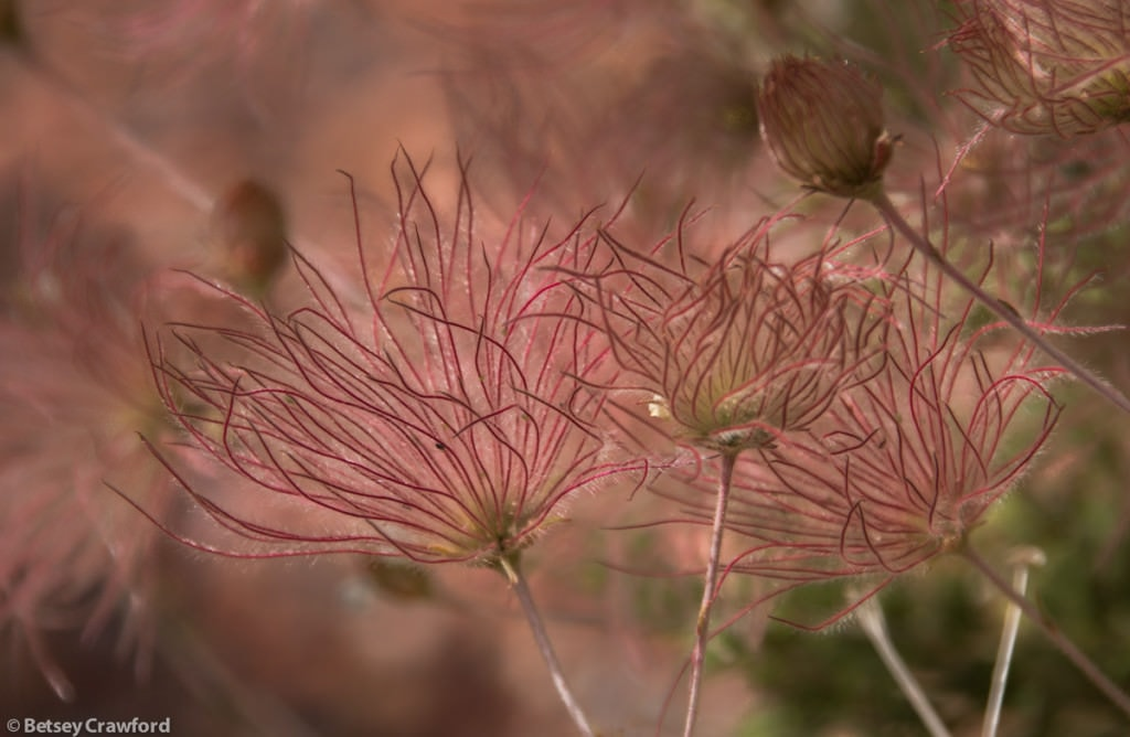 apache-plume-fallugia-paradoxa-seedheads-Snow-Canyon-state-park-St-George-Utah-by-Betsey-Crawford