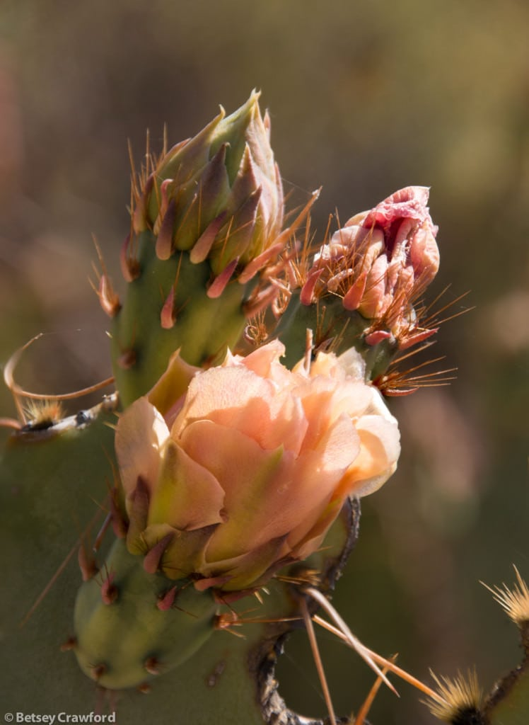 prickly-pear-cactus-opuntia-engelmannii-Saguarro-National-Park-west-by-Betsey-Crawford
