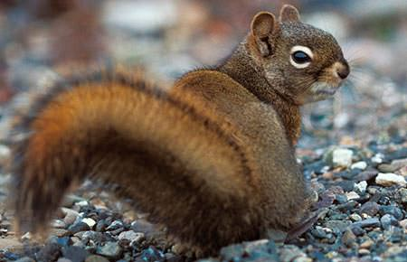 redsquirrel_looking_over_shoulder