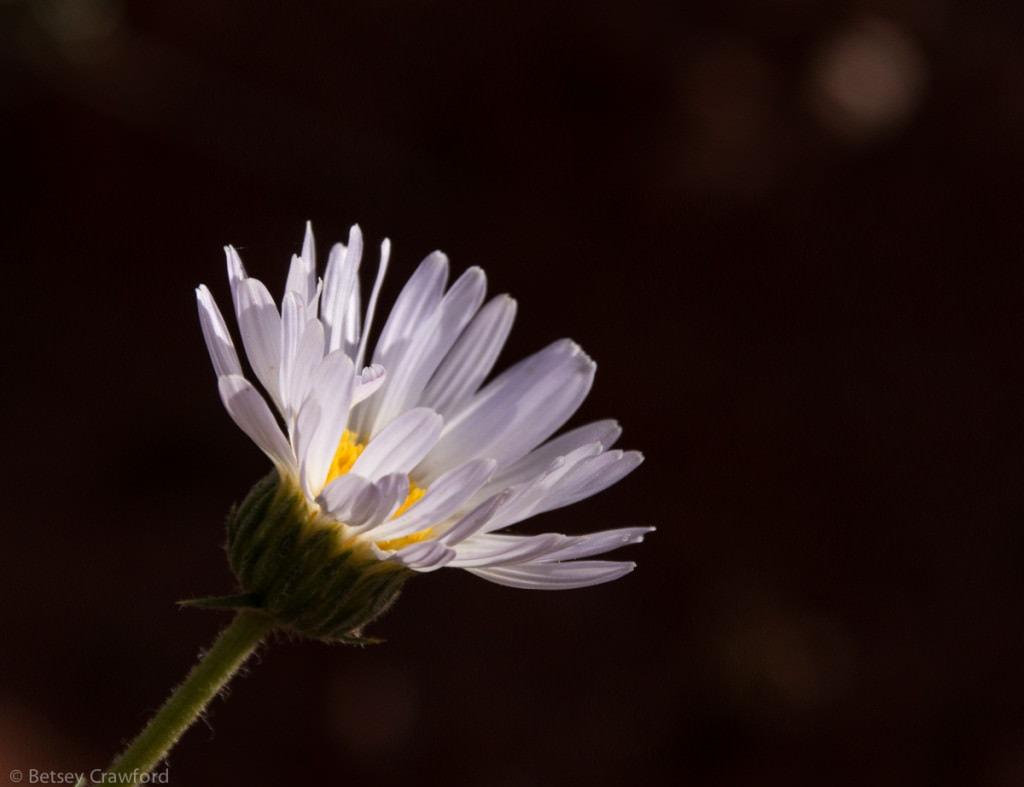 silver-fleabane-erigeron-argentatus-Snow-Canyon-Utah-by-Betsey-Crawford