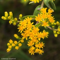 Stiff goldenrod (Solidago rigida) taken at Curtis Prairie, Madison, Wisconsin by Betsey Crawford