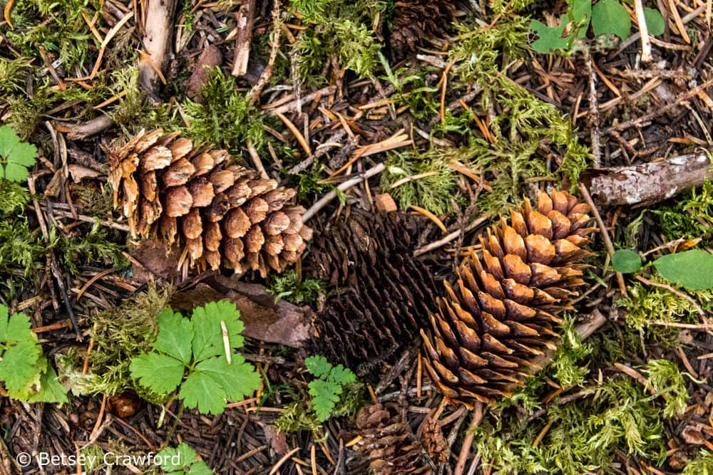 White spruce (Picea glauca) cones on the forest floor during a mast year in Alaska. Photo by Betsey Crawford