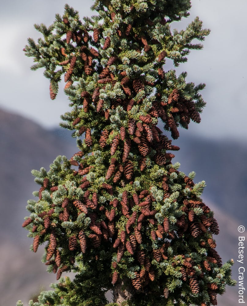 White spruce (Picea glauca) with many cones during a mast year in Alaska. Photo by Betsey Crawford