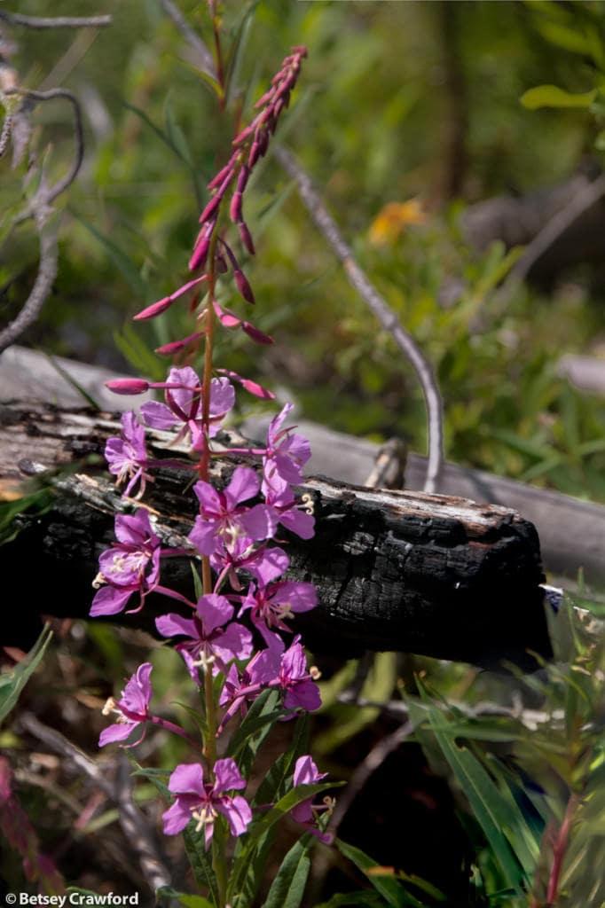 fireweed-epilobium-angustifolium-Stanley-Glacier-Kootenay-National-Park-British-Columbia-by-Betsey-Crawford