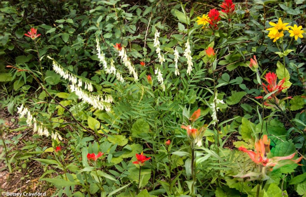 heart-leaf-arnica-arnica-cordifolia-yellow-hedysarum-hedysarum-sulphurescens-paintbrush-castilleja-miniata-Stanley-Glacier-Kootenay-National-Park-British-Columbia-by-Betsey-Crawford