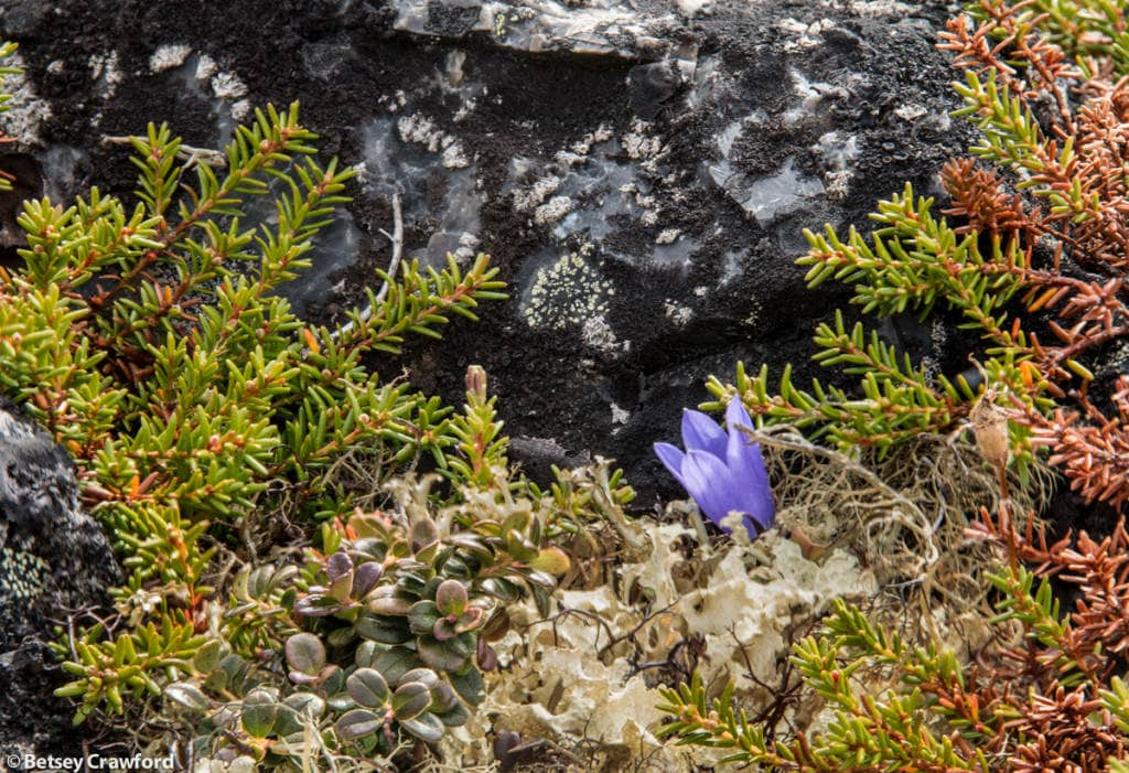 tundra-alpine-harebell-campanula-lasiocarpa-lichen-empetrum-nigrum-crowberry-bog-cranberry-arctostaphylos-alpina-Dempster-Highway-Yukon-Territory-by-Betsy-Crawford