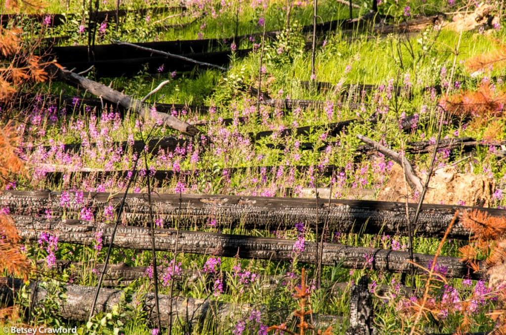 wildfire-fireweed-epilobium-angustifolium-Banff-National-Park-Alberta-by-Betsey-Crawford