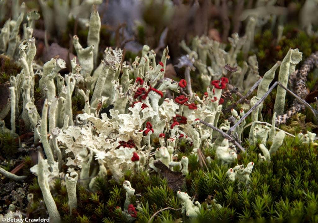 cladonia-digitata-flavocentria-nivalis-snow-lichen-Denali-National-Park-Alaska-by-Betsey-Crawford
