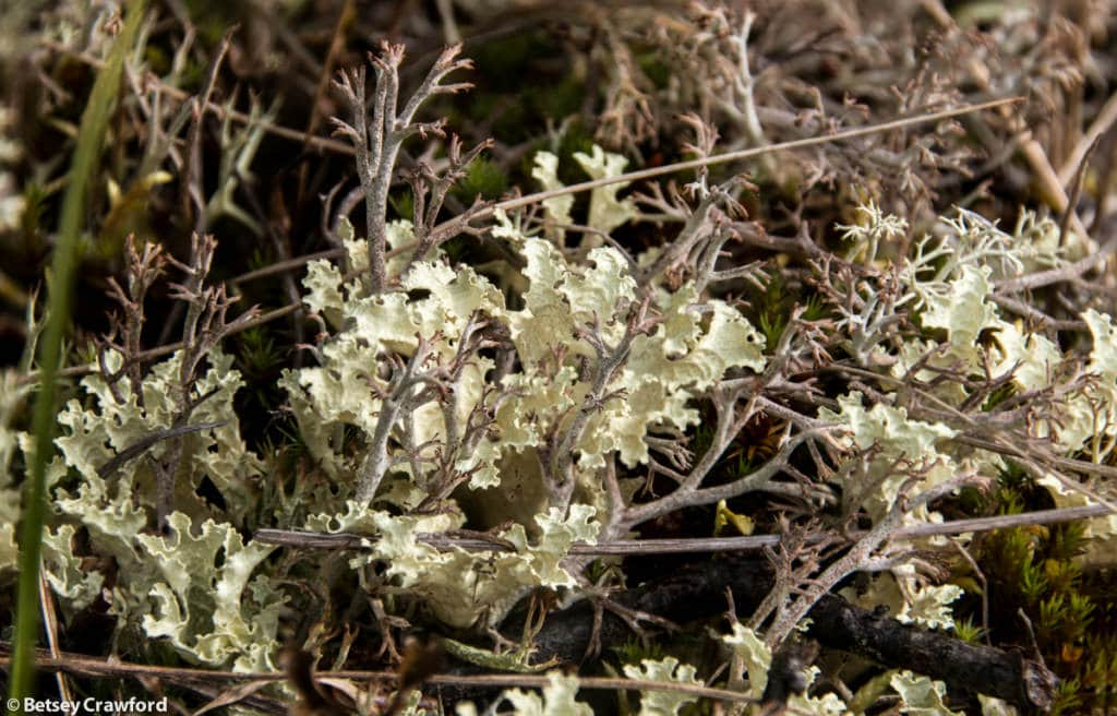 cladonia-stygia-black-footed-reinderr-lichen-flavocentria-nivalis-snow-lichen-Denali-National-Park-Alaska-by-Betsey-Crawford