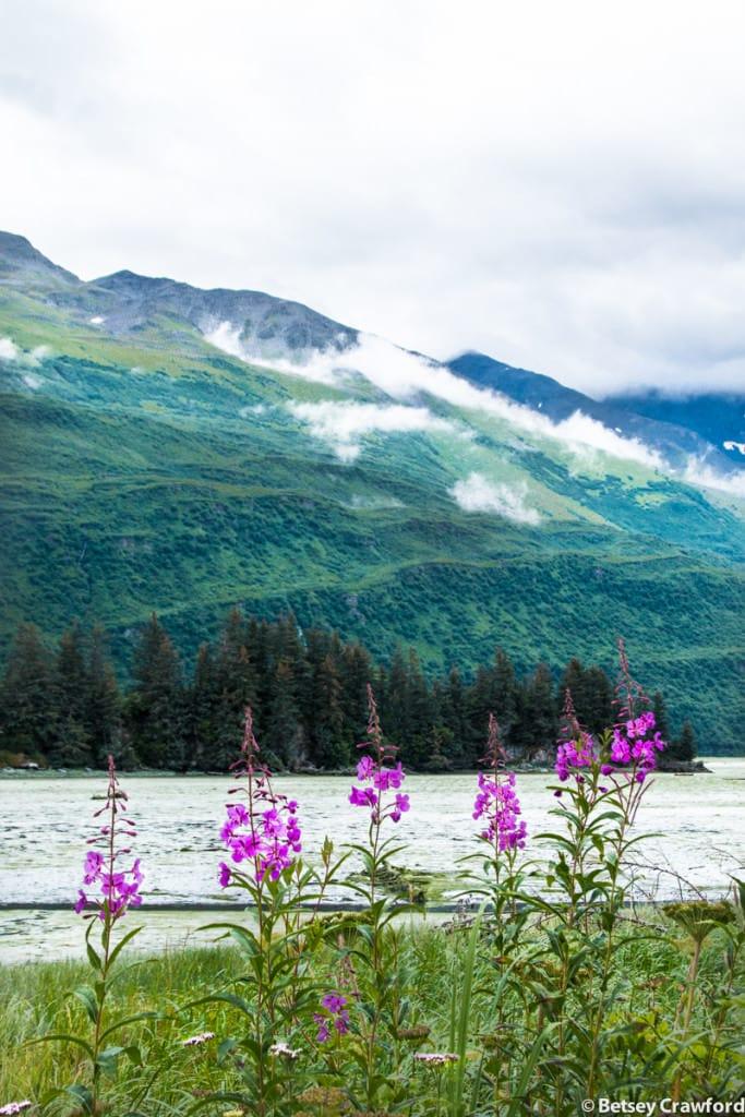 fireweed-epilobium-angustifolium-northern-yarrow-achillea-borealis-Valdezi-Alaska-by-Betsey-Crawford-2