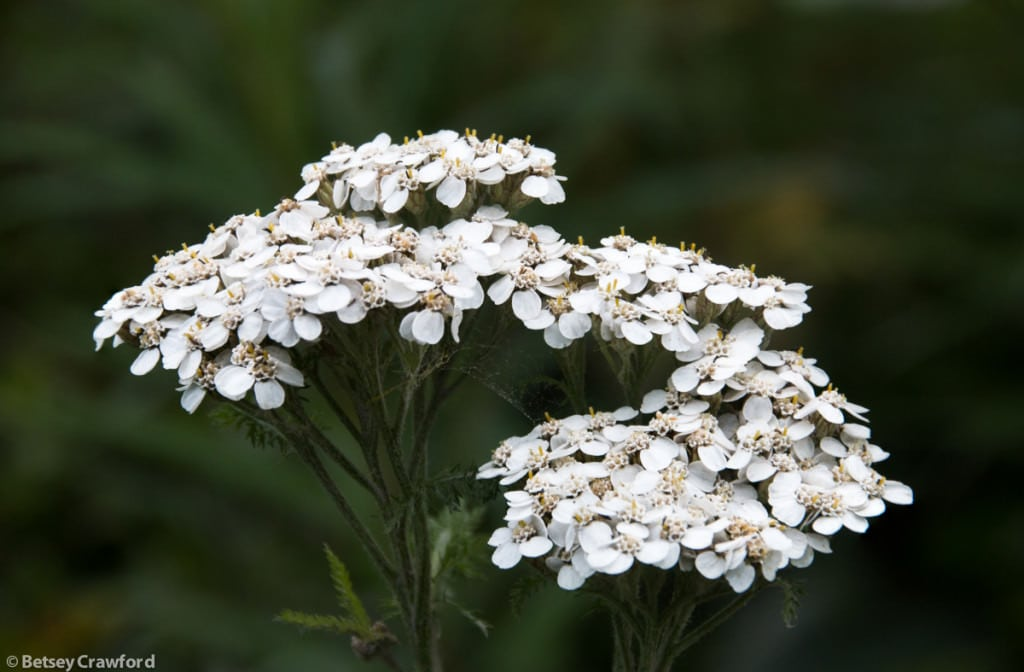 northern-yarrow-achillea-borealis-Captain-Cook-State-Park-Kenai-Alaska-by-Betsey-Crawford.jpg