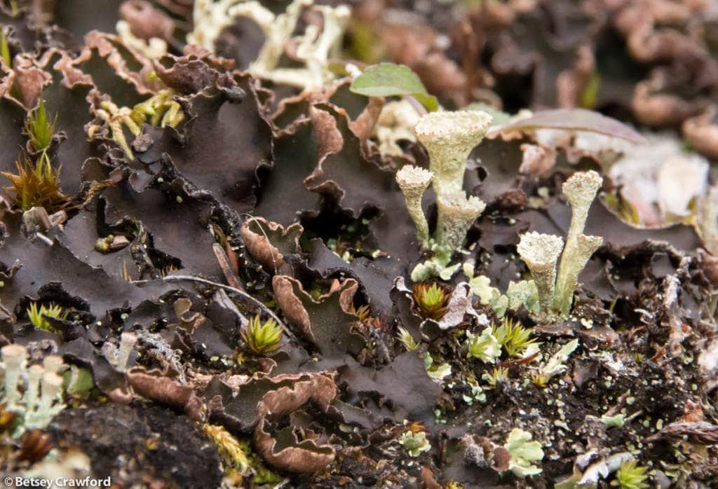 peltigera-praetextata-felt-lichen-cladonia-species-Denali-National-Park-Alaska-by-Betsey-Crawford