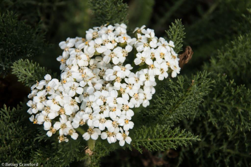 yarrow-achillea-millefolium-Coeur-d-Alene-Idaho-by-Betsey-Crawford