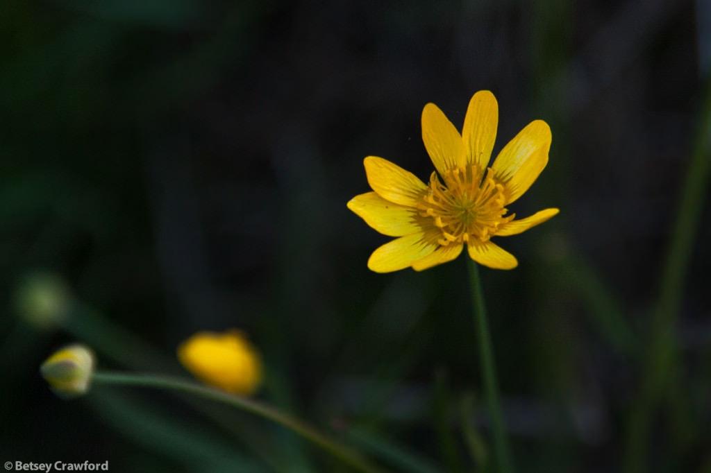 California buttercup (Ranunculus californicus) King Mountain, Tiburon, California, by Betsey Crawford