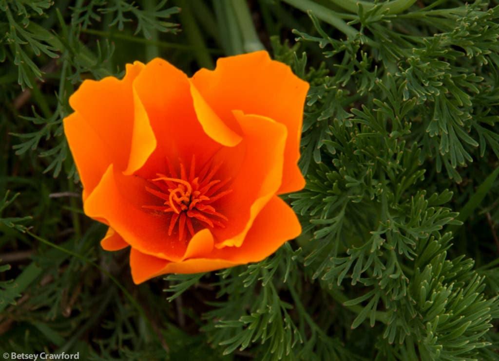 California poppy (Eschscholzia californica) Golden Gate National Recreation Area, California by Betsey-Crawford