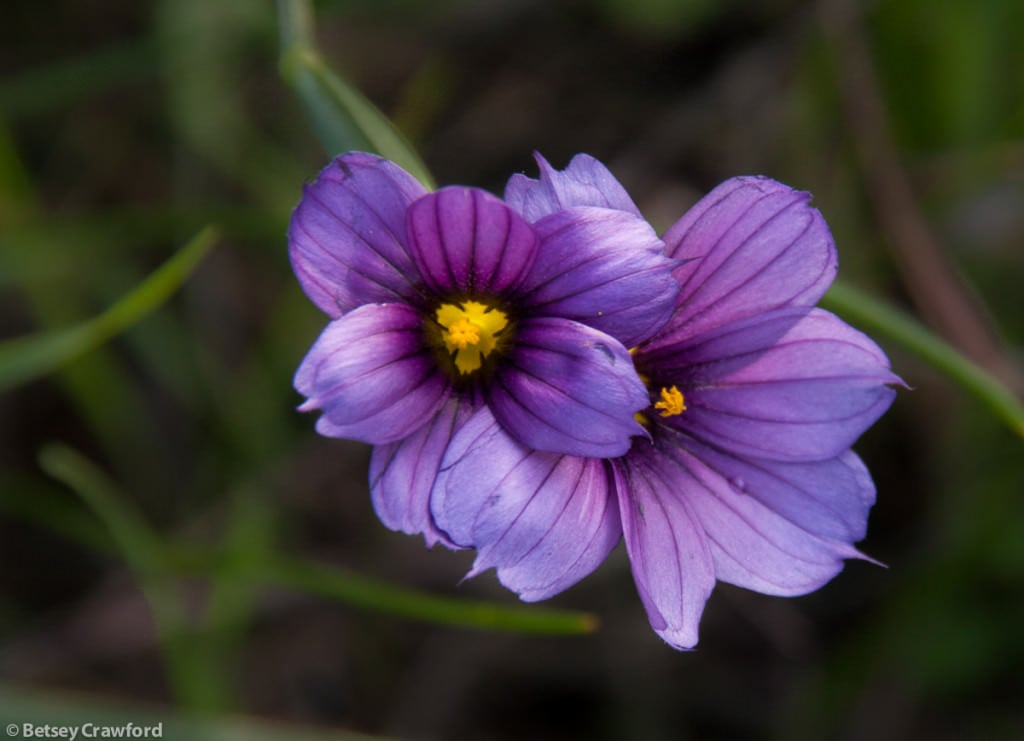 Blue-eyed grass (Sisyrinchium bellum) taken at Terra Linda Open Space Preserve, San Rafael, California-by-Betsey-Crawford