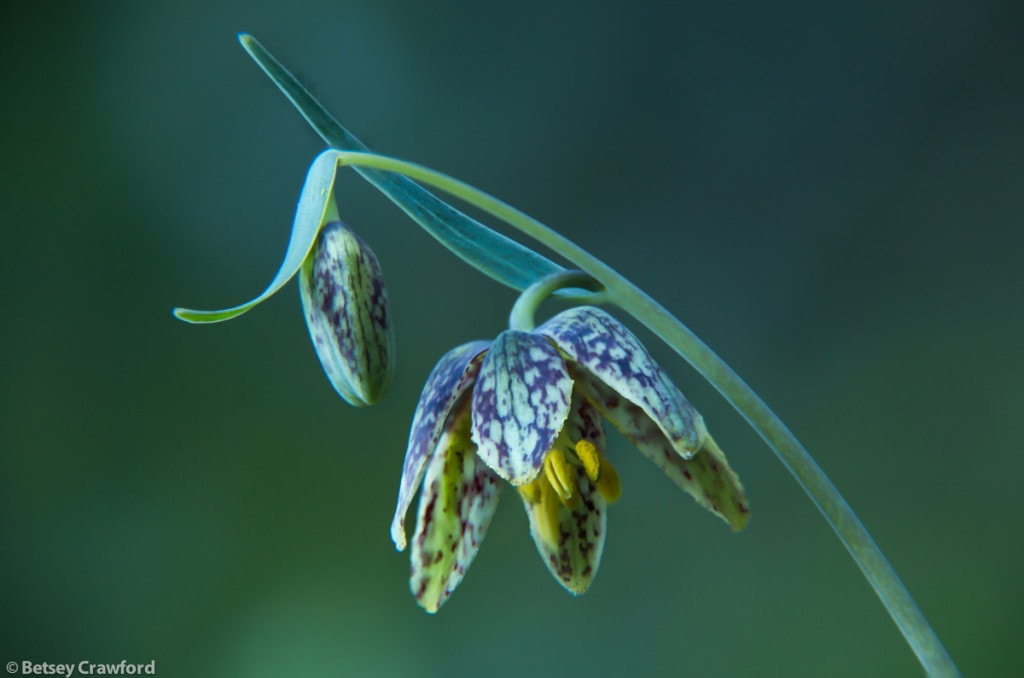 Chocolate lily (Fritillaria affinis) taken on King Mountain, Larkspur, California by Betsey Crawford