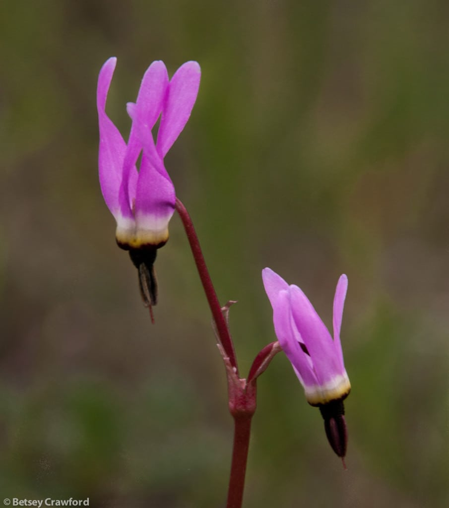 Foothills shooting star (Dodecatheon hendersonii) taken in Golden Gate National Recreation Area, California by Betsey Crawford