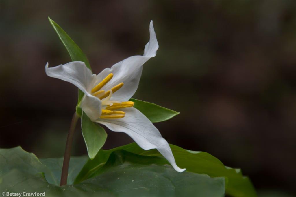 Pacific trillium (Trillium ovatum) in Baltimore Canyon, Larkspur, California by Betsey Crawford