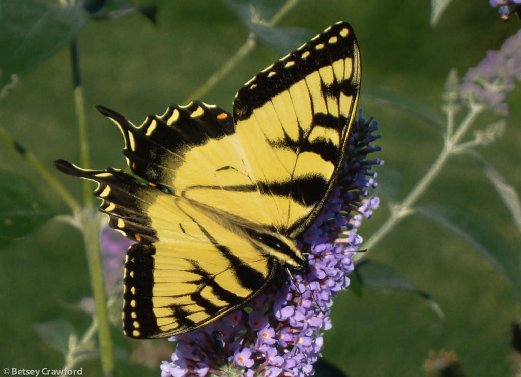 the beauty of an eastern tiger swallowtail (papillo glaucous) on Accabonac Harbor, East Hampton, New York by Betsey Crawford