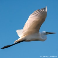 Great white egret flying over Corte Madera Marsh in Corte Madera, California by Betsey Crawford