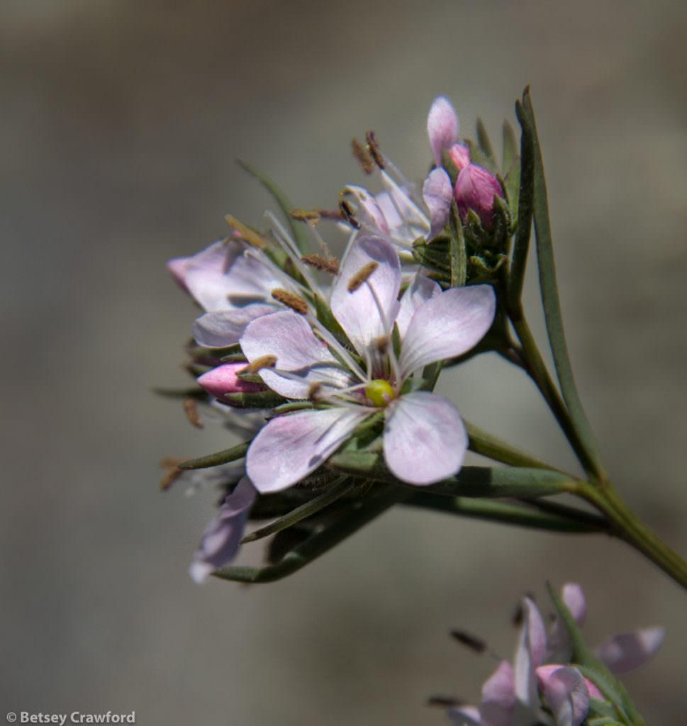 Marin dwarf flax (Hesperolin capitata) growing on Mount Burdell in Novato, California by Betsey Crawford