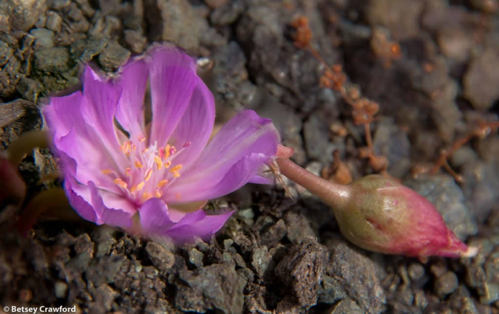 Bitterroot (Lewisia rediviva) on Mount Burdell in Novato, California by Betsey Crawford