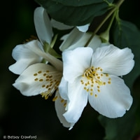 California mock orange (Philadelphus lewisii) white flowered native plants, El Sobrante, California by Betsey Crawford