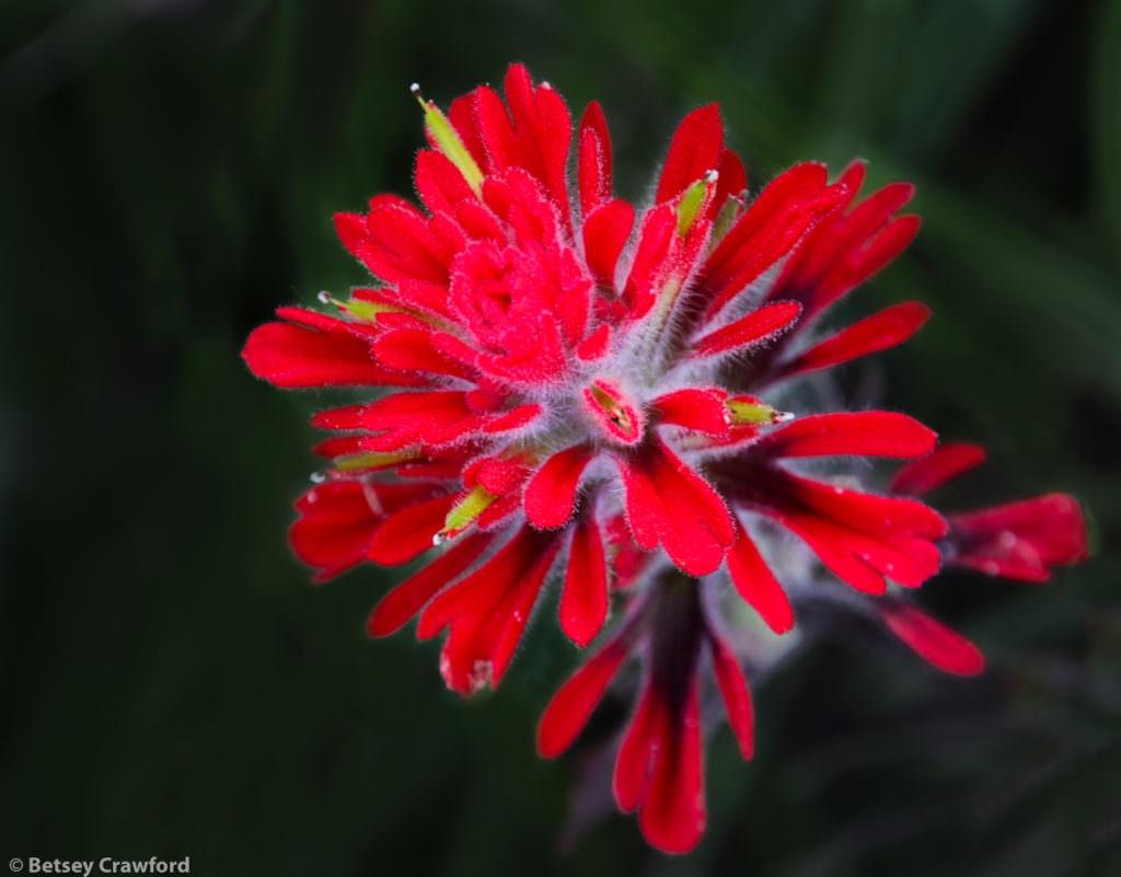 Coast Indian paintbrush (Castilleja affinis) taken in Solstice Canyon, Malibu, California by Betsey Crawford